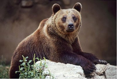 Highly endangered - Marsican brown bear, Italy