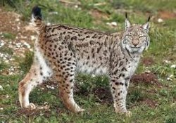 Iberian lynx, endangered by habitat fragmentation and loss of prey species