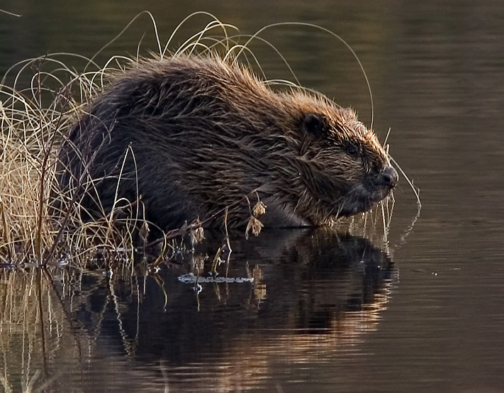 "Poised for reintroduction. Photo credit: ""Beaver pho34"" by Per Harald Olsen. Licensed under CC BY-SA 3.0 via Wikimedia Commons"