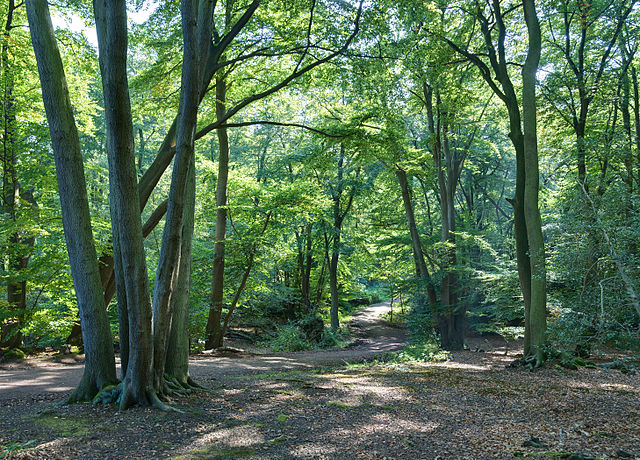 Epping Forest, an ancient wood …… in Greater London. Photo by David Iliff