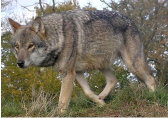 The wolf has brought prosperity to local communities in Abruzzi