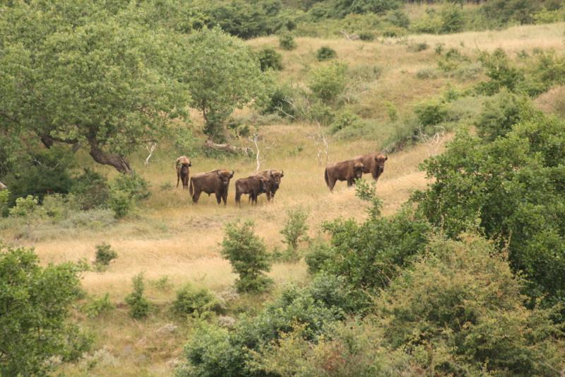 Natural browsers help maintain mixed habitat – European bison in Vermuelen, Netherlands (Photo credit: Twan Teunissen, FREE Foundation)