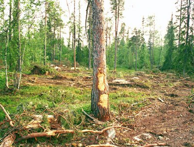 Damaged and logged pine trees