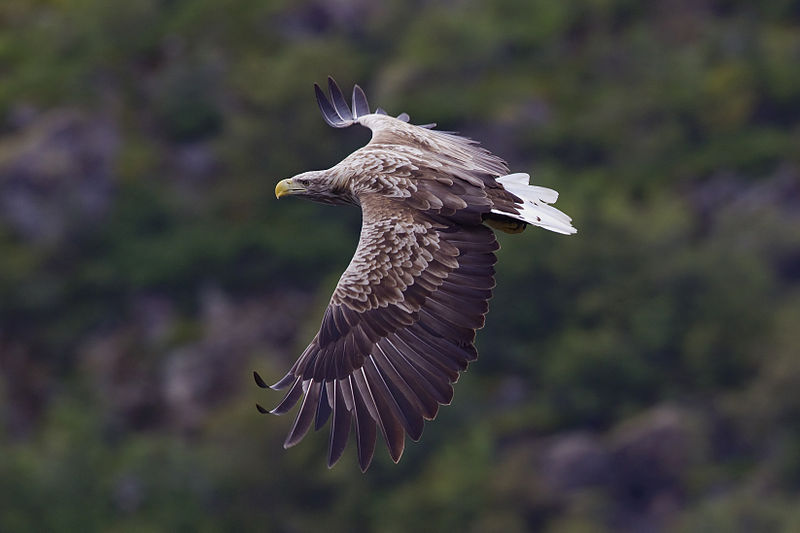 Icon of Atlantic wilderness – the white tailed eagle (Photo credit: Yathin S Krishnappa)