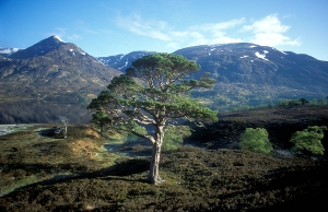 Remnant of the Great Forest of Caledon – Glen Affric. Copyright: Alan Watson/Forest Light.jpg