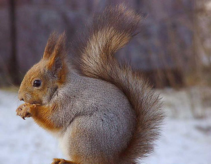 ...and the red squirrel